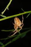 European garden spider (Araneus diadematus). In their cobweb Royalty Free Stock Photos