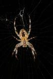 European garden spider (Araneus diadematus). In their cobweb Royalty Free Stock Images