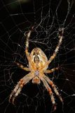 European garden spider (Araneus diadematus) Royalty Free Stock Image