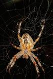 European garden spider (Araneus diadematus). In their cobweb Royalty Free Stock Image