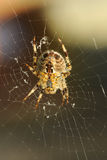 European Garden spider Araneus Diadematus. The underside of a European Garden spider Araneus Diadematus showing the leg joints and body form Royalty Free Stock Photos