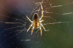 European Garden Spider (Araneus diadematus). Waiting for prey to get caught in its web Stock Photo