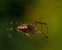 The European garden spider, Araneus diadematus Royalty Free Stock Photo