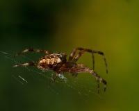 The European garden spider, Araneus diadematus. In a web Royalty Free Stock Photo