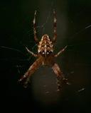 The European garden spider, Araneus diadematus. In a web Royalty Free Stock Image