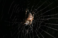 European Garden Spider on Black Background with White Net Royalty Free Stock Photography