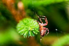 European garden spider called cross spider. Araneus diadematus species. Close-up Royalty Free Stock Photography