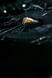 European garden spider on cobweb Stock Photo