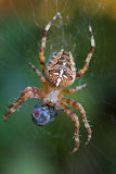 European garden spider with Dead flies - detail. 