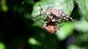 European garden spider, diadem spider, cross spider, crowned orb weaver, araneus diadematus. Movie - european garden spider, diadem spider, cross spider, crowned stock footage