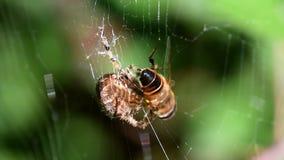 European garden spider, diadem spider, cross spider, crowned orb weaver, araneus diadematus stock video