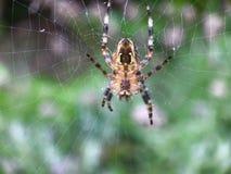 European garden spider Royalty Free Stock Photo