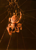 European garden spider feeding macro. A macro shot of a european garden spider in its web, feeding on a fly or some other type of insect, against a black stock images