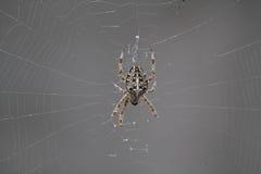European garden spider. Female dorsal view of an Araneus diadematus Royalty Free Stock Photo