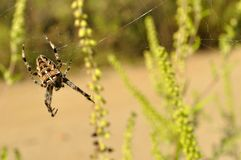 European garden spider in its web. Detail view of European garden spider or cross spider (Araneus diadematus) in its web Royalty Free Stock Photos