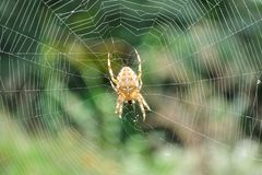 European garden spider in its web Stock Photos