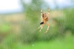 European garden spider in its web Royalty Free Stock Photography