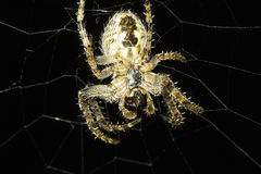 European Garden Spider on the net , Araneus Diadematus Stock Image