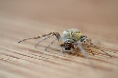 European garden spider on wooden floor Royalty Free Stock Image
