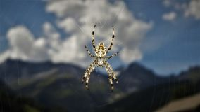 European Gardenspider royalty free stock photo