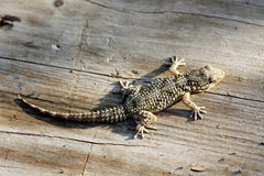 European gecko Stock Images