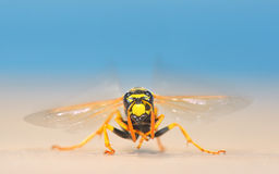 European giant hornet Stock Photography