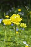 European globe flower (Trollius europaeus) Royalty Free Stock Images