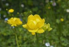 European globe flower (Trollius europaeus) Royalty Free Stock Images