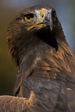 European Golden Eagle. Photo of a European Golden Eagle (Aquila chrysaetos), a bird of prey royalty free stock photo