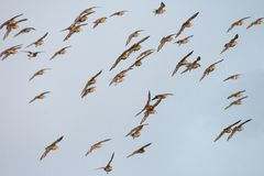 European Golden Plover Royalty Free Stock Photography