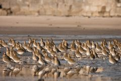 European Golden Plover. A flight of European Golden Plover resting and feeding after migration from the Northern Europe stock image
