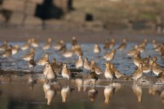 European Golden Plover Stock Photography