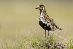 The European golden plover Stock Images