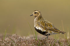European Golden plover (Pluvialis apricaria) Stock Photography