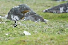 European golden plover, Pluvialis apricaria Stock Photos