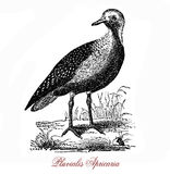 The European golden plover Pluvialis apricaria,vintage engravi. The European golden plover Pluvialis apricaria is a largish plover. The genus name is Latin and Royalty Free Stock Photo