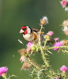 European goldenfinch Royalty Free Stock Images