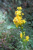 European goldenrod or woundwort Solidago virgaurea. In bloom royalty free stock photography