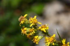 European goldenrod  (Solidago virgaurea ssp.minuta) Royalty Free Stock Photo