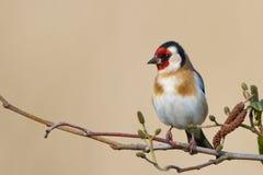 European Goldfinch Royalty Free Stock Photo
