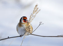European Goldfinch. On snow background Stock Photos