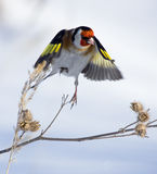European Goldfinch. Flying on snow background Stock Image