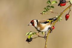 European Goldfinch Royalty Free Stock Image