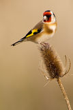 European Goldfinch. On the thistle Stock Image