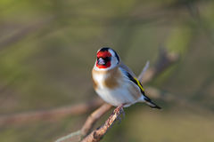 European Goldfinch. A European Goldfinch Resting on a Branch Stock Photography