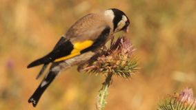 European Goldfinch stock video footage