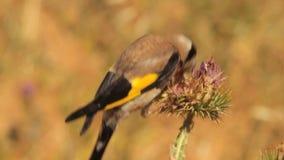 European Goldfinch stock video footage