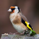 European goldfinch bird close up. Wild goldfinch bird portrait close up native to Europe also known as Carduelis carduelis. The goldfinch has a red face and a Royalty Free Stock Photography
