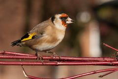 European goldfinch bird close up. Wild goldfinch bird portrait close up native to Europe also known as Carduelis carduelis. The goldfinch has a red face and a Stock Photography
