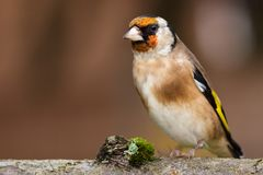 European goldfinch bird close up. Wild goldfinch bird portrait close up native to Europe also known as Carduelis carduelis. The goldfinch has a red face and a Stock Images